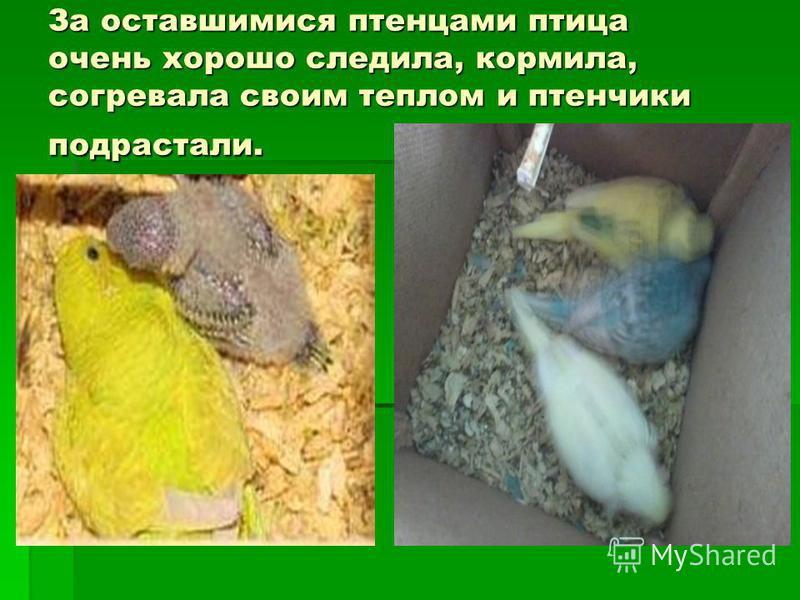 За оставшимися птенцами птица очень хорошо следила, кормила, согревала своим теплом и птенчики подрастали.