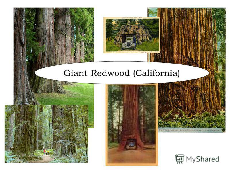 Giant Redwood (California)