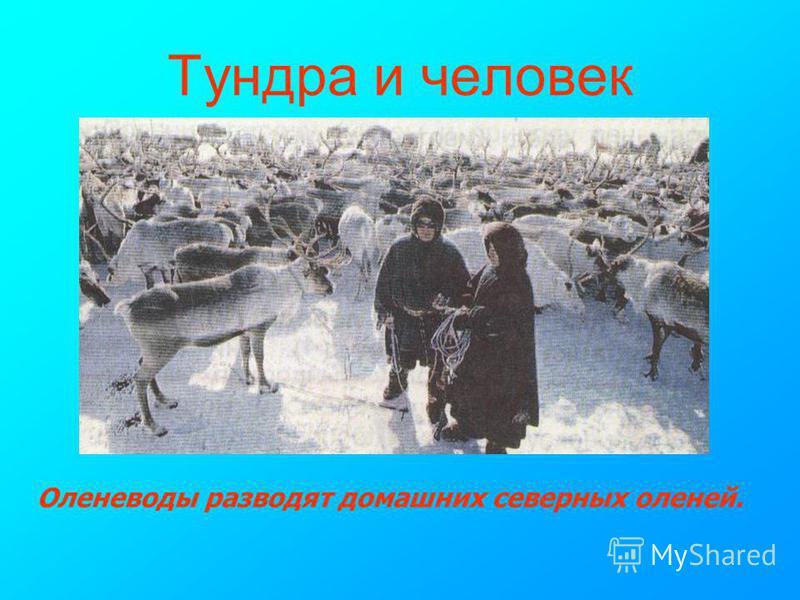 Тундра и человек Оленеводы разводят домашних северных оленей.