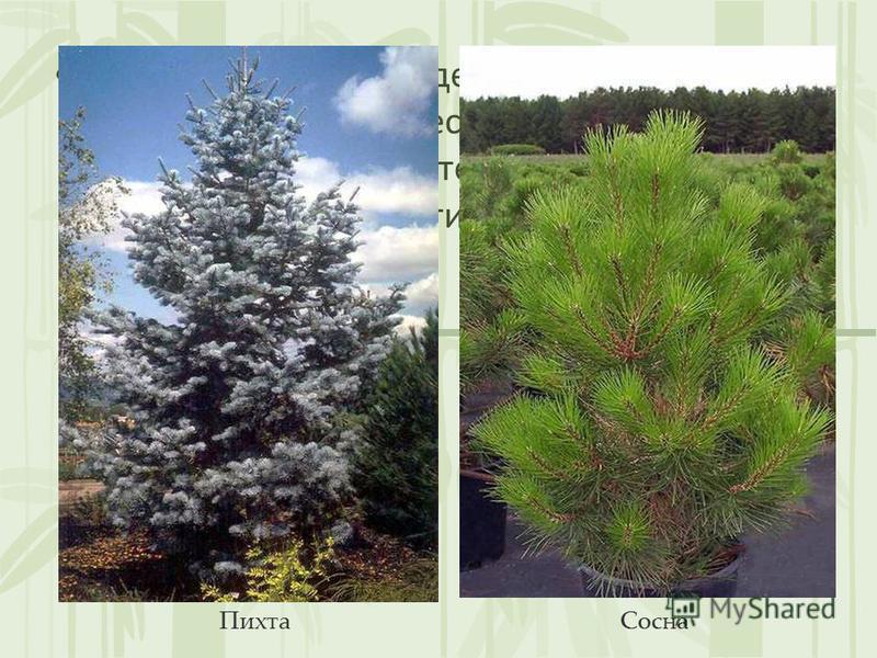 Многие растения выделяют летучие бактерицидные вещества, делающие воздух практически стерильным: сосна, пихта, лиственница, тис, грецкий орех. Пихта Сосна