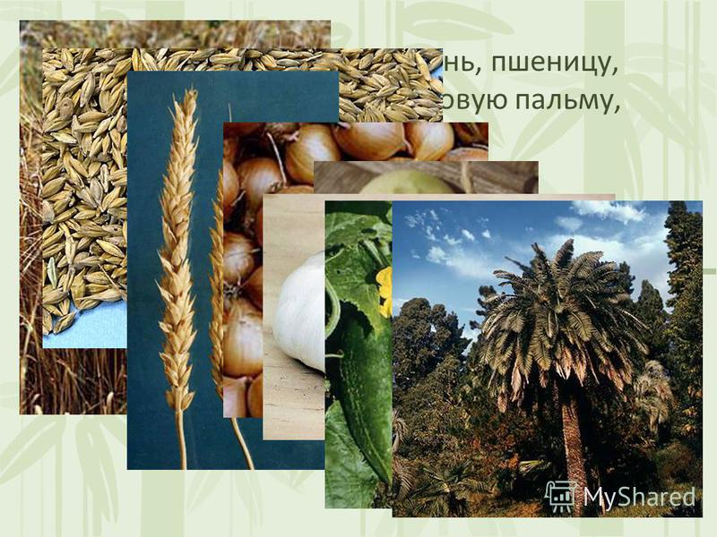 Шумеры выращивали ячмень, пшеницу, лук, чеснок, огурцы, финиковую пальму, кунжут.
