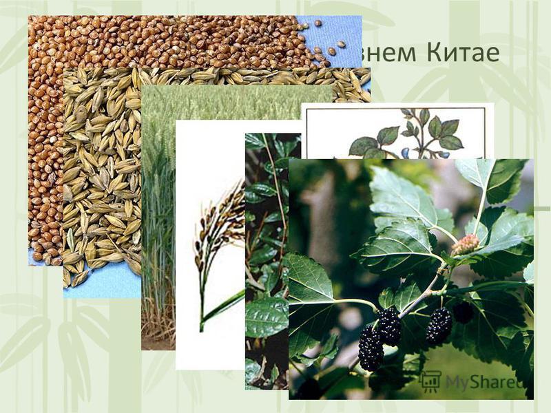 Растениеводство в Древнем Китае В Китае выращивали просо, ячмень, рис, чай, сою, тутовое дерево.