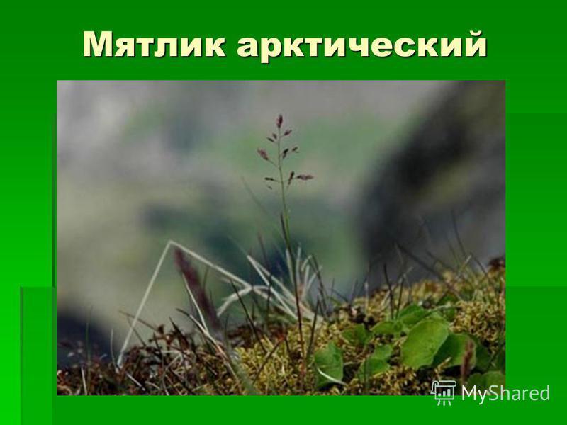 Мятлик арктический