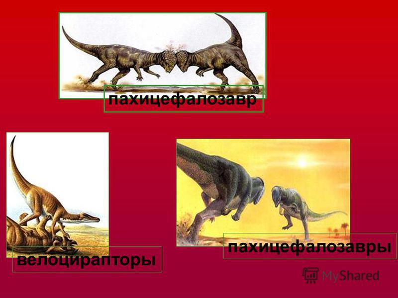 пахицефалозавр пахицефалозавры велоцирапторы