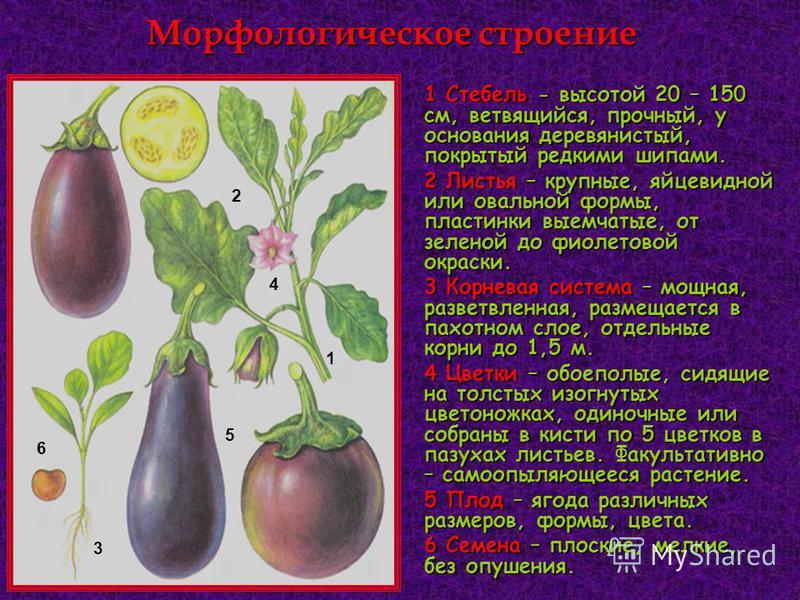 Морфологическое строение 1 Стебель - высотой 20 – 150 см, ветвящийся, прочный, у основания деревянистый, покрытый редкими шипами. 2 Листья – крупные, яйцевидной или овальной формы, пластинки выемчатые, от зеленой до фиолетовой окраски. 3 Корневая сис