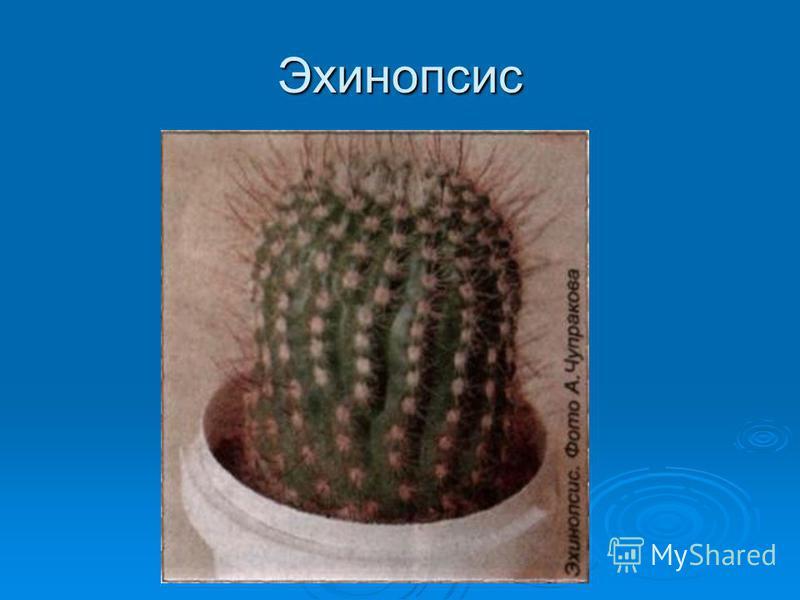Эхинопсис