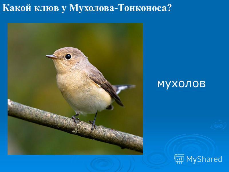Какой клюв у Мухолова-Тонконоса? мухолов