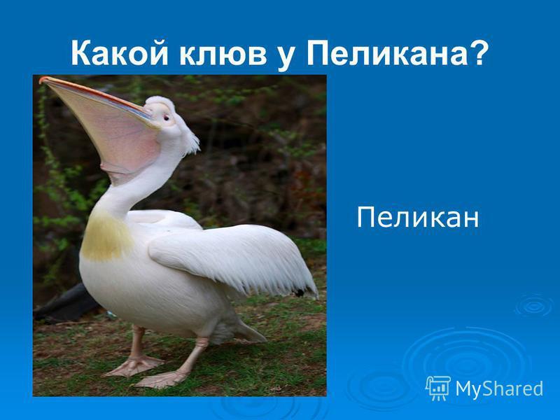 Какой клюв у Пеликана? Пеликан
