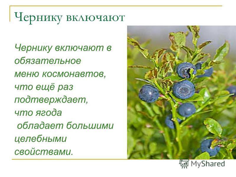 Чернику включают Чернику включают в обязательное меню космонавтов, что ещё раз подтверждает, что ягода обладает большими целебными свойствами.