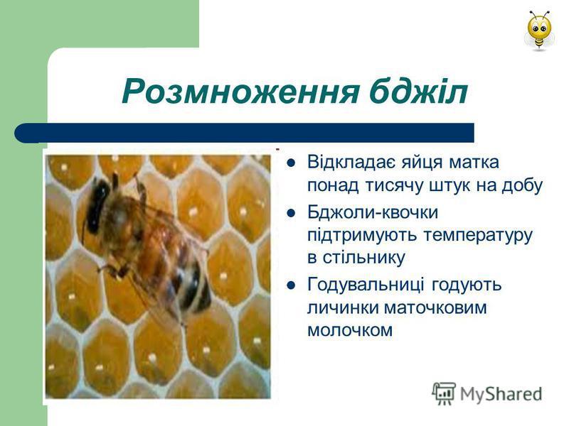 Розмноження бджіл Відкладає яйця матка понад тисячу штук на добу Бджоли-квочки підтримують температуру в стільнику Годувальниці годують личинки маточковим молочком