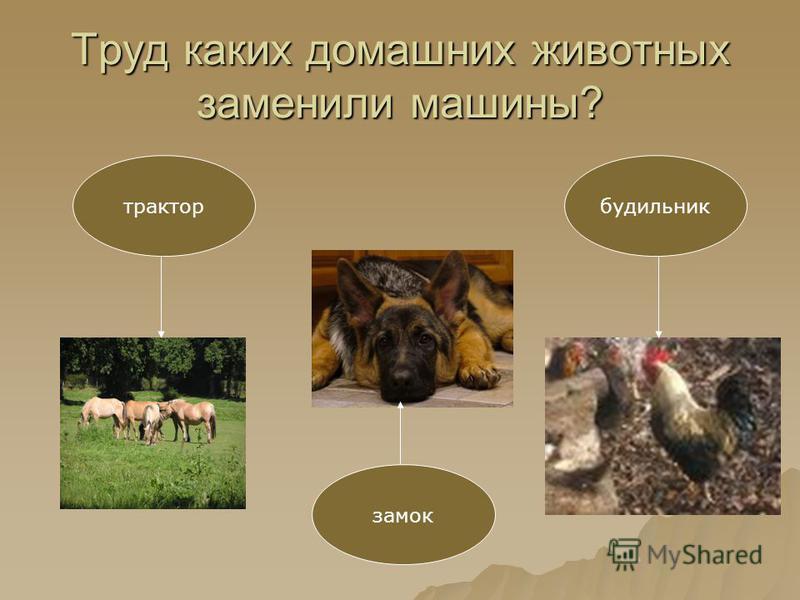 Труд каких домашних животных заменили машины? трактор замок будильник