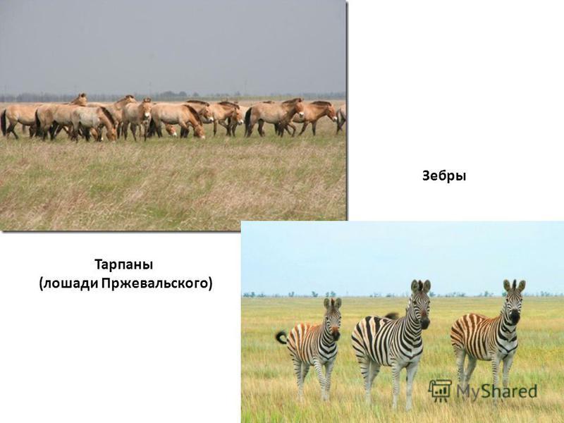 Тарпаны (лошади Пржевальского) Зебры
