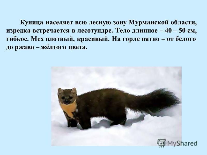 Куница населяет всю лесную зону Мурманской области, изредка встречается в лесотундре. Тело длинное – 40 – 50 см, гибкое. Мех плотный, красивый. На горле пятно – от белого до ржаво – жёлтого цвета.