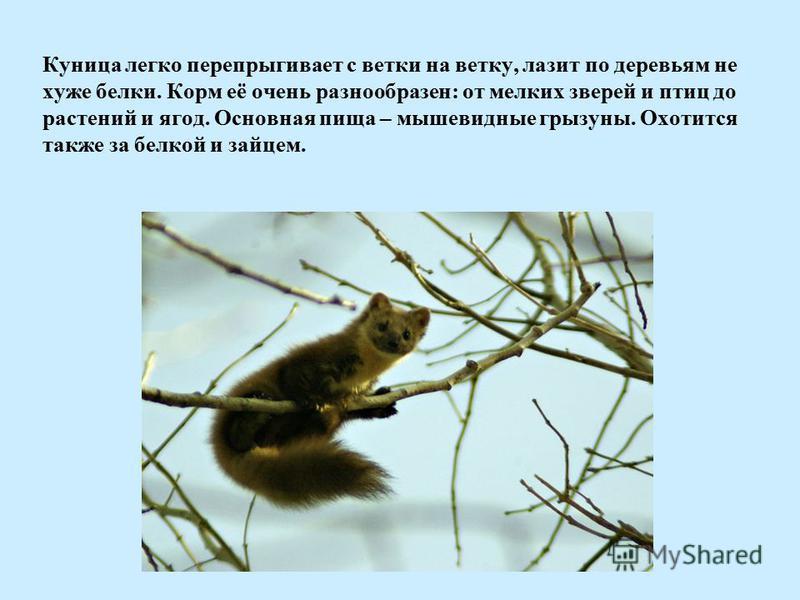 Куница легко перепрыгивает с ветки на ветку, лазит по деревьям не хуже белки. Корм её очень разнообразен: от мелких зверей и птиц до растений и ягод. Основная пища – мышевидные грызуны. Охотится также за белкой и зайцем.