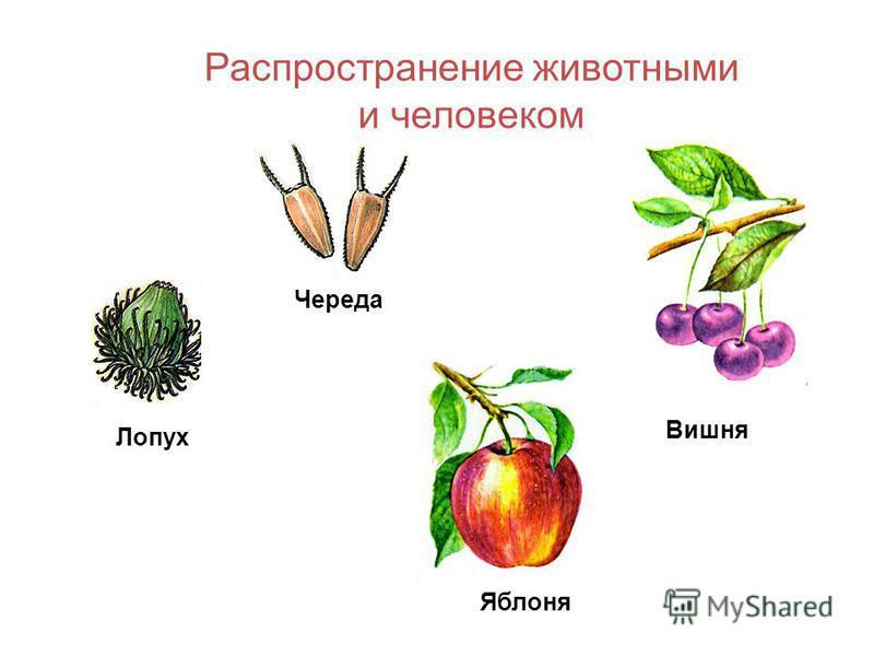 Коробочка - сухой многосемянный плод, при вскрывании растрескивается. Тюльпан Дурман Белена Хлопчатник Мак