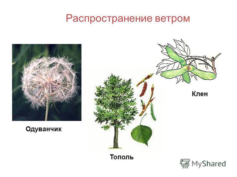 Лопух Череда Распространение животными и человеком Вишня Яблоня