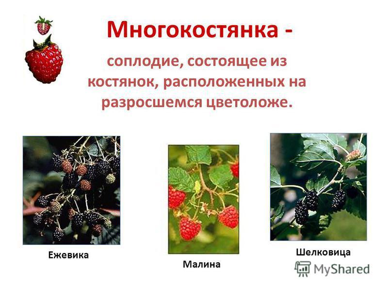 Яблоко - соплодие, состоящее из множества орешков, окруженных разросшимся мясистым цветоложем. Рябина Яблоня Груша
