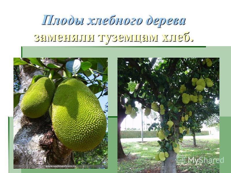 Плоды хлебного дерева заменяли туземцам хлеб.