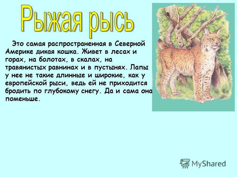 Это самая распространенная в Северной Америке дикая кошка. Живет в лесах и горах, на болотах, в скалах, на травянистых равнинах и в пустынях. Лапы у нее не такие длинные и широкие, как у европейской рыси, ведь ей не приходится бродить по глубокому сн
