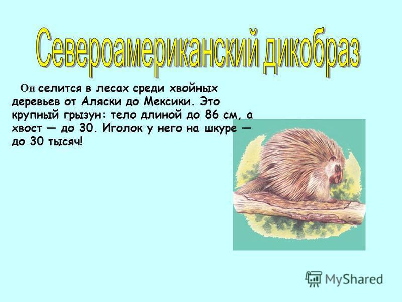 Он селится в лесах среди хвойных деревьев от Аляски до Мексики. Это крупный грызун: тело длиной до 86 см, а хвост до 30. Иголок у него на шкуре до 30 тысяч!