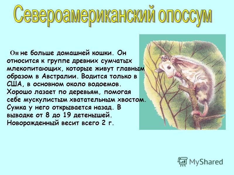 Он не больше домашней кошки. Он относится к группе древних сумчатых млекопитающих, которые живут главным образом в Австралии. Водится только в США, в основном около водоемов. Хорошо лазает по деревьям, помогая себе мускулистым хватательным хвостом. С