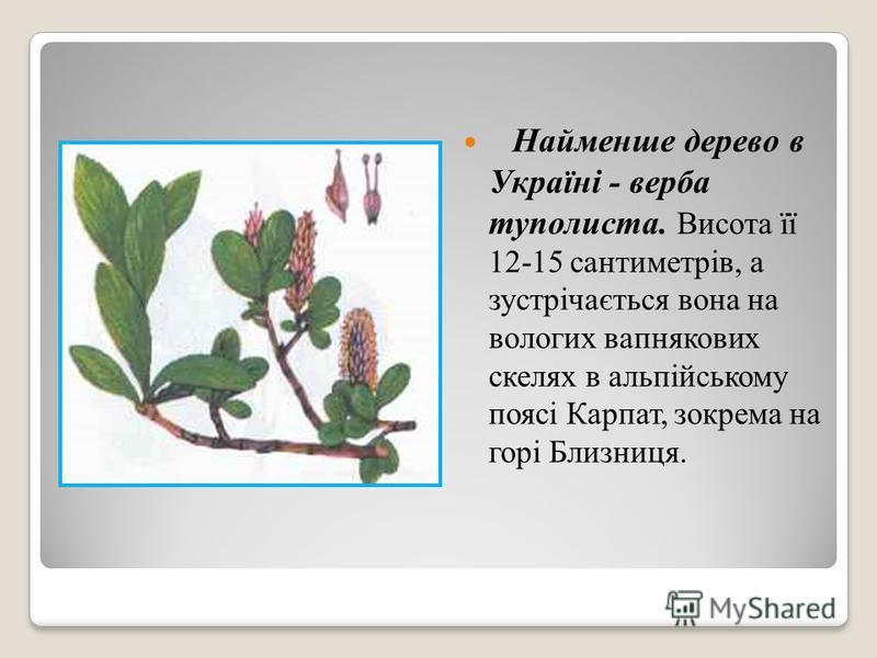 Найменше дерево в Україні - верба туполиста. Висота її 12-15 сантиметрів, а зустрічається вона на вологих вапнякових скелях в альпійському поясі Карпат, зокрема на горі Близниця.