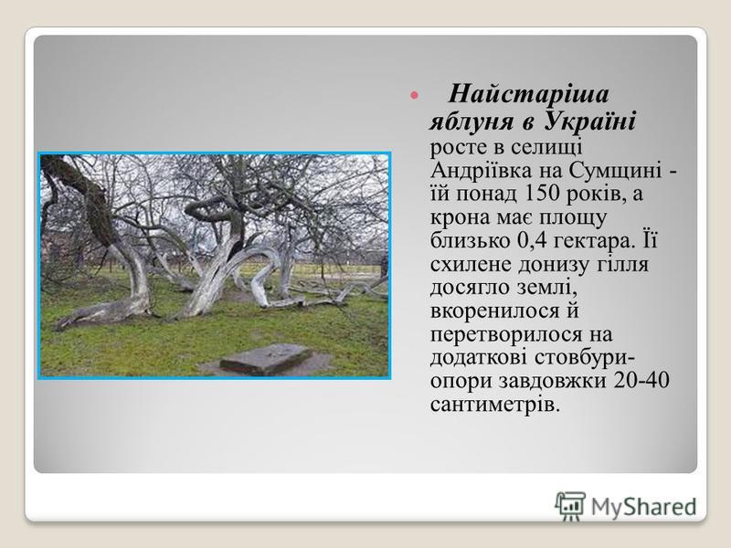 Найстаріша яблуня в Україні росте в селищі Андріївка на Сумщині - їй понад 150 років, а крона має площу близько 0,4 гектара. Її схилене донизу гілля досягло землі, вкоренилося й перетворилося на додаткові стовбури- опори завдовжки 20-40 сантиметрів.