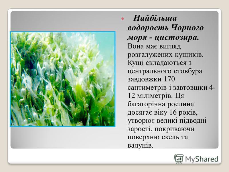 Найбільша водорость Чорного моря - цистозира. Вона має вигляд розгалужених кущиків. Кущі складаються з центрального стовбура завдовжки 170 сантиметрів і завтовшки 4- 12 міліметрів. Ця багаторічна рослина досягає віку 16 років, утворює великі підводні