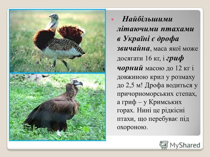 Найбільшими літаючими птахами в Україні є дрофа звичайна, маса якої може досягати 16 кг, і гриф чорний масою до 12 кг і довжиною крил у розмаху до 2,5 м! Дрофа водиться у причорноморських степах, а гриф – у Кримських горах. Нині це рідкісні птахи, що