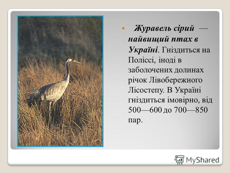 Журавель сірий найвищий птах в Україні. Гніздиться на Поліссі, іноді в заболочених долинах річок Лівобережного Лісостепу. В Україні гніздиться імовірно, від 500600 до 700850 пар.