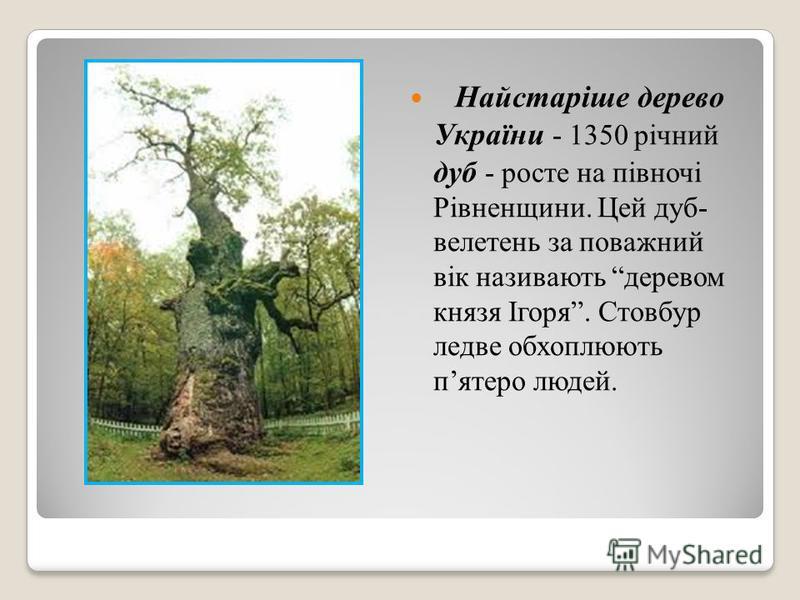 Найстаріше дерево України - 1350 річний дуб - росте на півночі Рівненщини. Цей дуб- велетень за поважний вік називають деревом князя Ігоря. Стовбур ледве обхоплюють пятеро людей.
