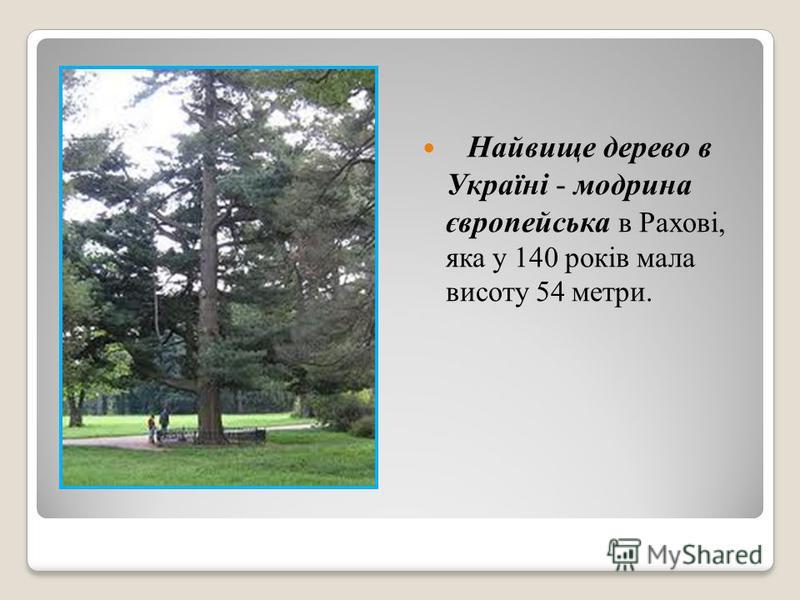 Найвище дерево в Україні - модрина європейська в Рахові, яка у 140 років мала висоту 54 метри.