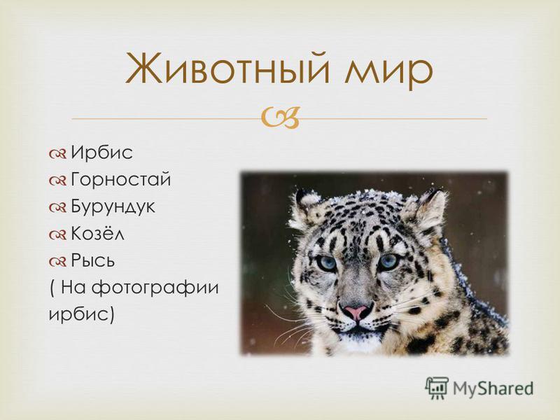Ирбис Горностай Бурундук Козёл Рысь ( На фотографии ирбис) Животный мир