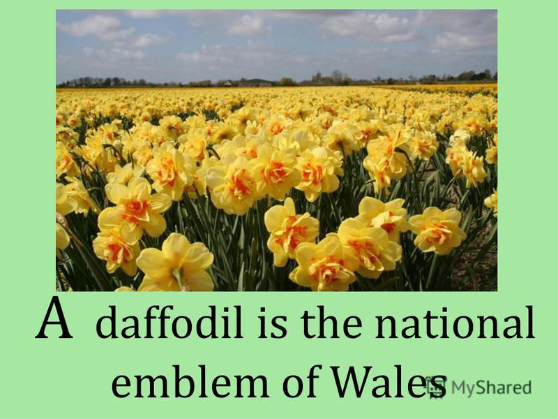 A daffodil is the national emblem of Wales
