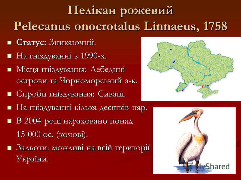 Пелікан рожевий Pelecanus onocrotalus Linnaeus, 1758 Статус: Зникаючий. Статус: Зникаючий. На гніздуванні з 1990-х. На гніздуванні з 1990-х. Місця гніздування: Лебедині острови та Чорноморський з-к. Місця гніздування: Лебедині острови та Чорноморськи