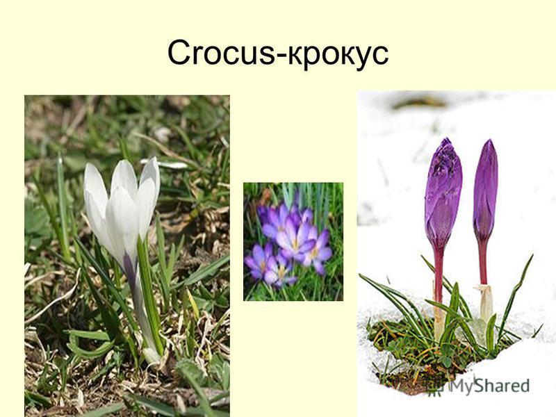 Crocus-крокус