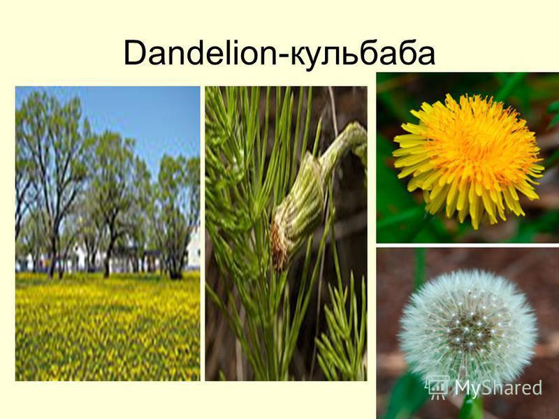 Dandelion-кульбаба