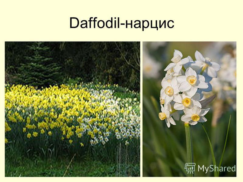 Daffodil-нарцис