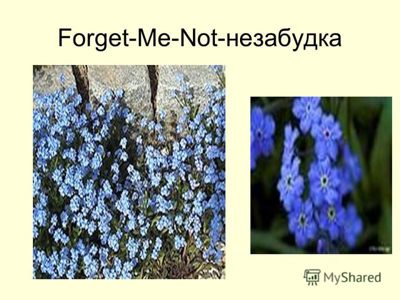 Forget-Me-Not-незабудка