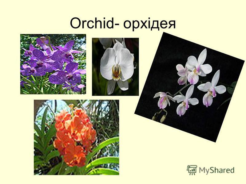 Orchid- орхідея