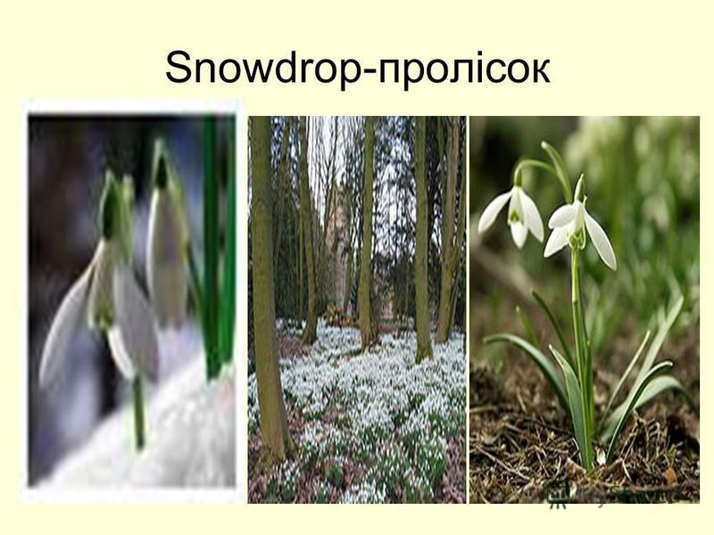 Snowdrop-пролісок