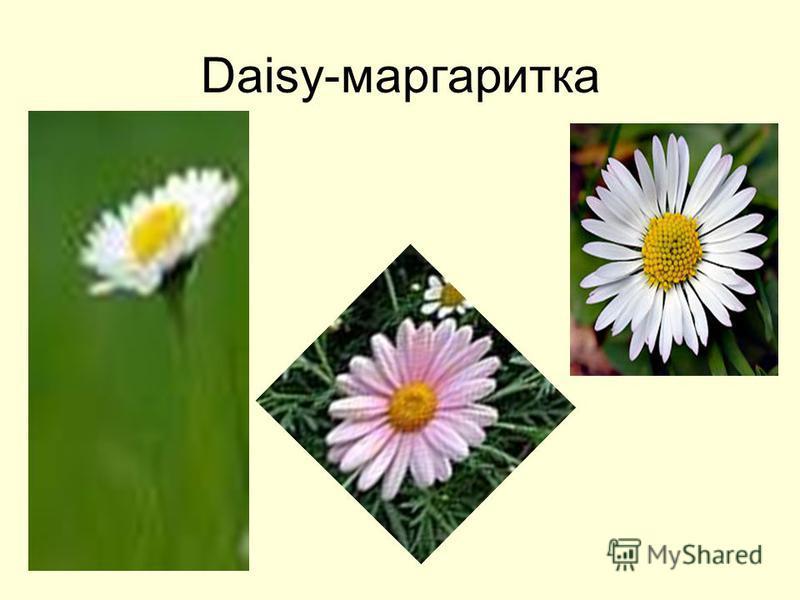 Daisy-маргаритка