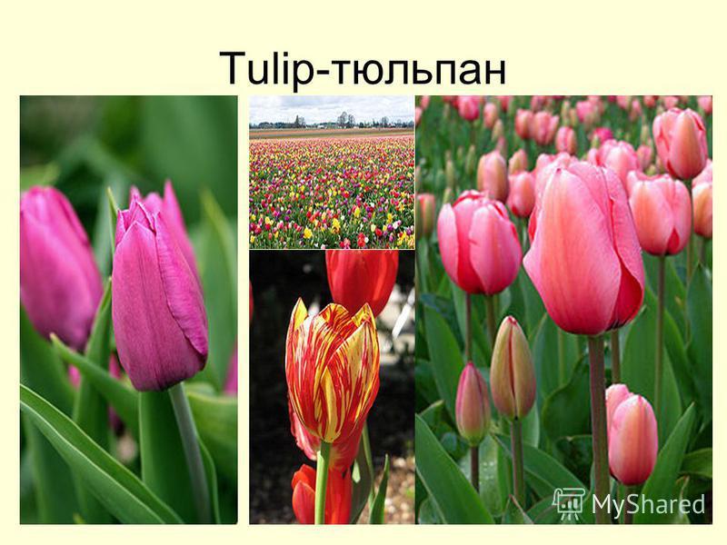 Tulip-тюльпан