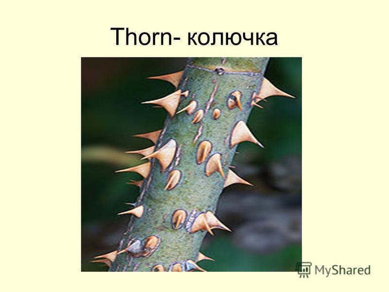 Thorn- колючка