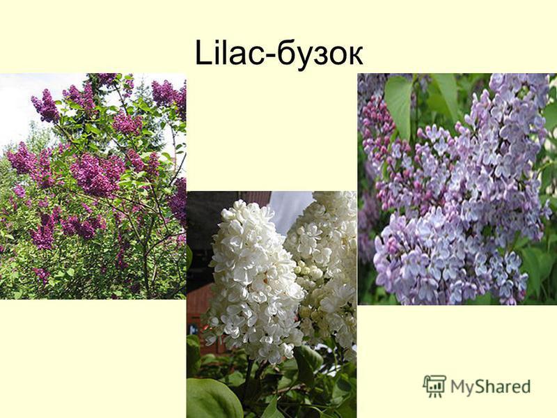 Lilac-бузок