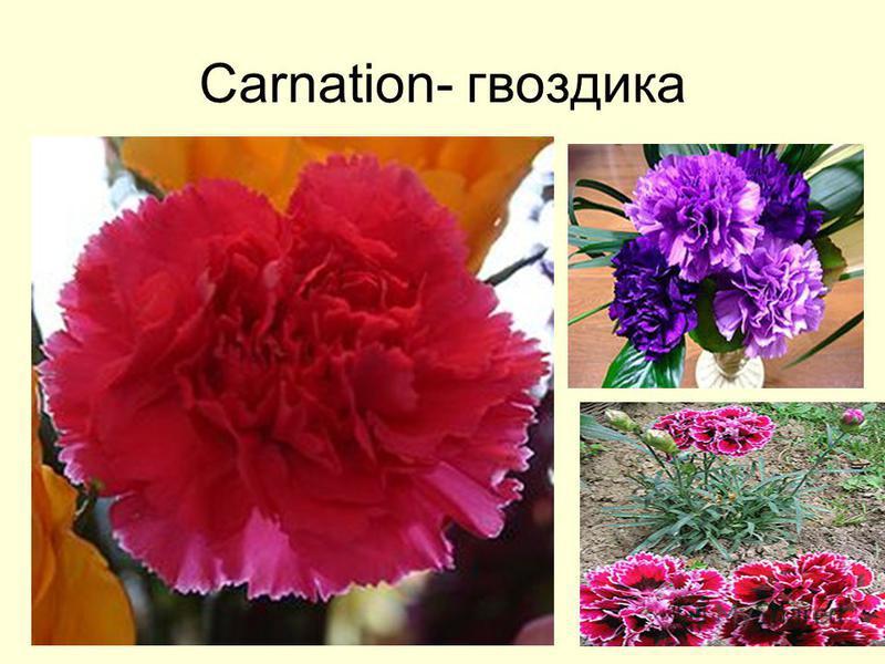 Carnation- гвоздика