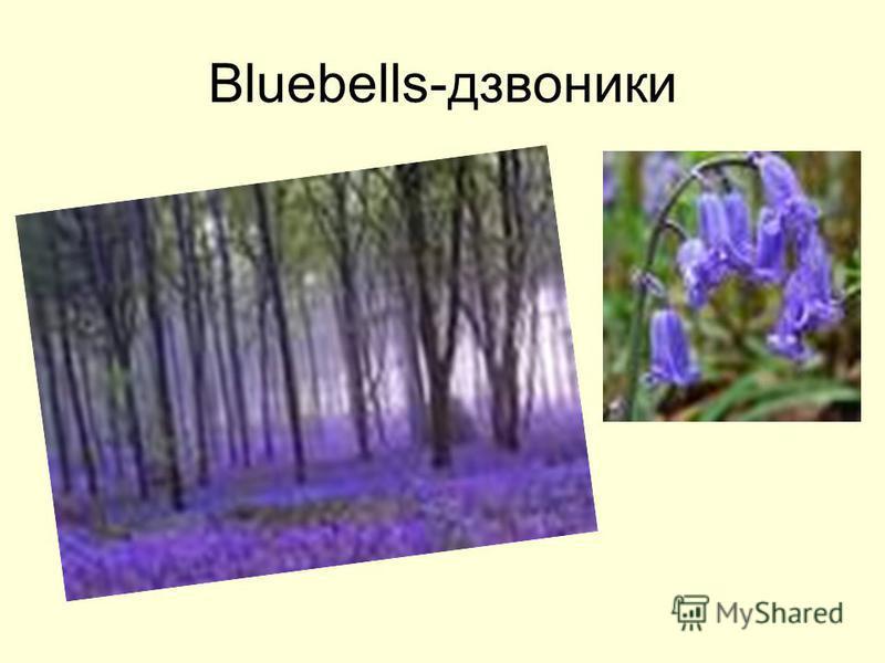 Bluebells-дзвоники
