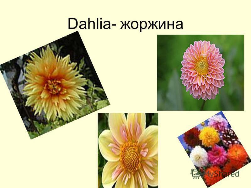 Dahlia- жоржина