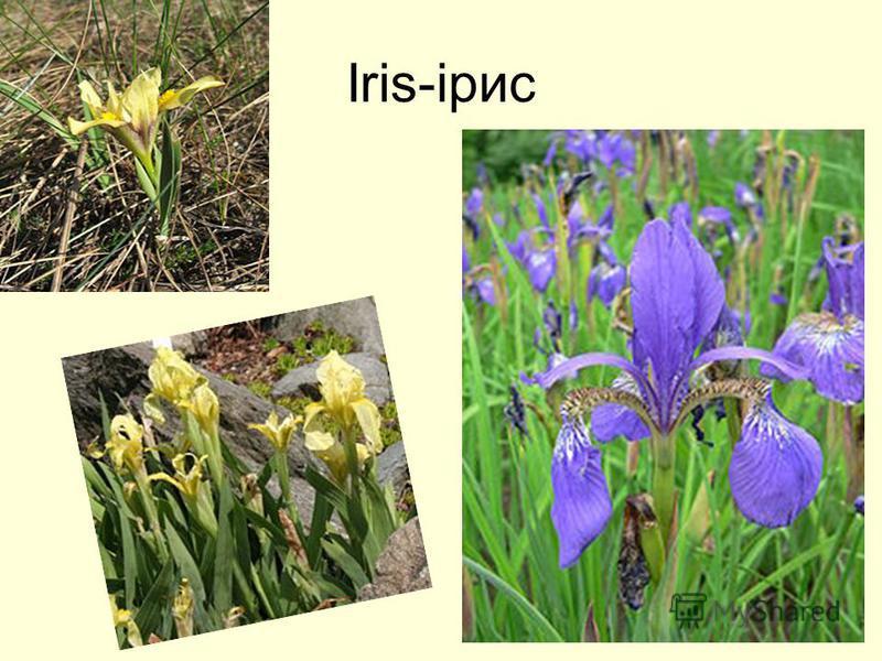 Iris-ірис