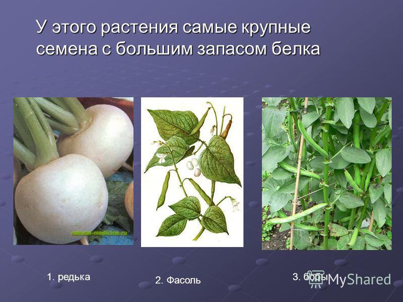У этого растения самые крупные семена с большим запасом белка У этого растения самые крупные семена с большим запасом белка 1. редька 2. Фасоль 3. бобы